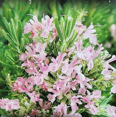 PINK ROSEMARY culinary HERB hedging edible aromatic plant in 100mm pot