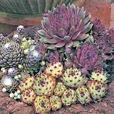 Sempervivum Species Mix - Appx 250 seeds - Perennials