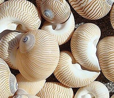 Lined Moon Snail Seashells 12 pcs Free Shipping, Craft shells, hermit crab shell