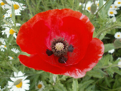 Papaver rhoeas Red Field Poppy Approx 1000 seeds