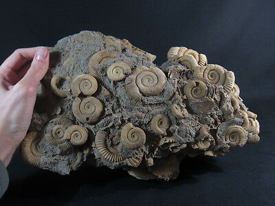 Rare large Dactylioceras Cephalopods Cluster- museum grade