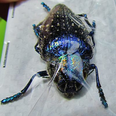 Shiny Metallic Blue Jewel Beetle Polybothris sumptuosa gema FAST SHIP FROM USA