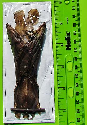 "Interesting Javan Slit-faced Bat Nycteris javanica Hanging 5"" FAST SHIP FROM US"