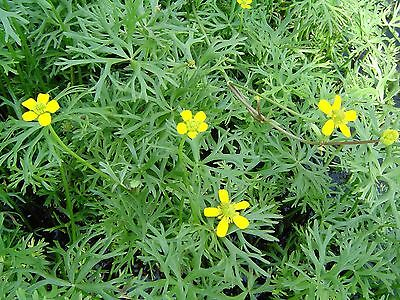 River Buttercup - Ranunculus - Unusual WATER PLANT,  healthy pond / water plant