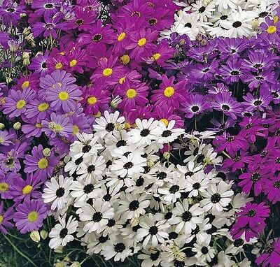 Brachycome iberidifolia mixed - appx 7,000 seed - Swan River Daisy