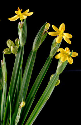 Sisyrinchium californicum -Yellow Satin Flower X 50 SEEDS - Hardy Perennial
