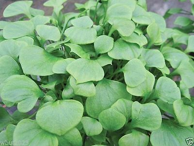 Miner's Lettuce~1,000 Seeds ,Claytonia Perfoliata, Cold-hardy salad green !