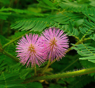 Mimosa Pudica - sensitive plant - 200 seeds Greenhouse perennial