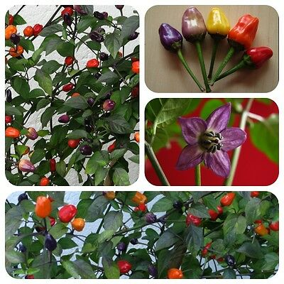 Chinese Five Color 5-Colour Chilli bunter Chili mittelscharf sehr dekorativ