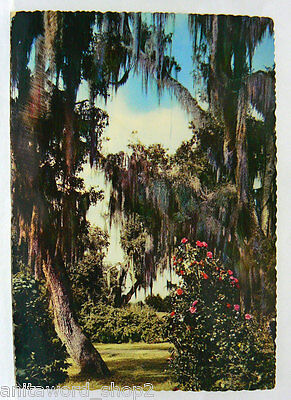 10470 - Postcard Live Oaks And Camelias New Orleans