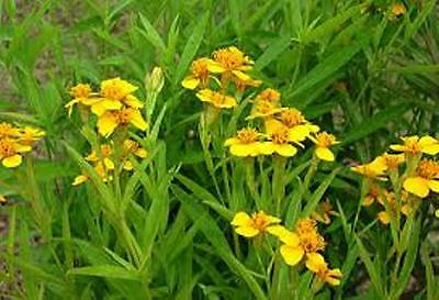 WINTER TARRAGON culinary HERB anise flavour edible plant in 100mm pot