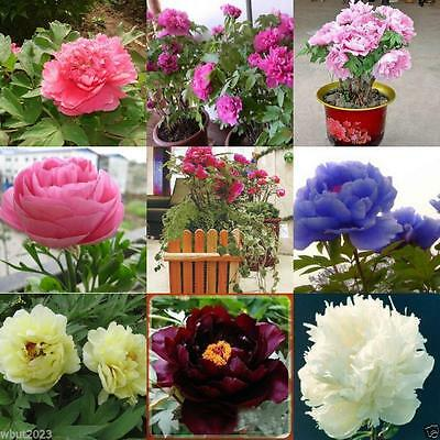 Tree Peony, Paeonia suffruticosa, Shrub Seeds- MIXED