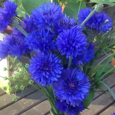 Cornflower 'Blue Ball' - Centaurea Cyanus - Appx 200 seeds - Annual