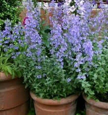 CATMINT Nepeta faascenii cat stimulant herb plant in 100mm pot