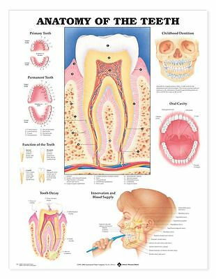Anatomy Of The Teeth Anatomical Chart  Laminated