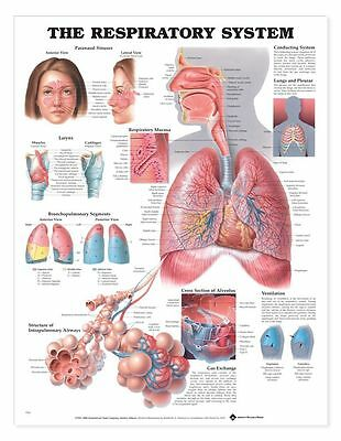 The Respiratory System Anatomical Chart  Laminated