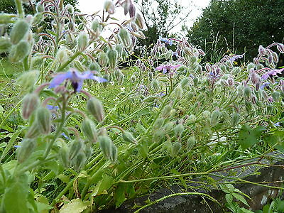 Graines semences  BOURRACHE officinale ,40 seeds  borage  Produit France Bio