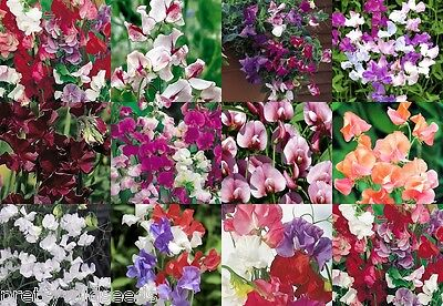 Sweet Pea Peas Seeds All Varieties Climbing Scented Trailing Flower