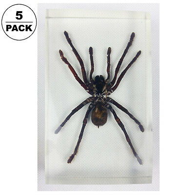5pcs Real Tarantula Bird Spider Insect Specimens In Lucite Paperweight Acrylic