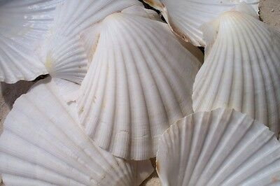 "Irish baking Scallop Shells 3 1/2""-4"" Case Pack 10 Great for baking sea food"