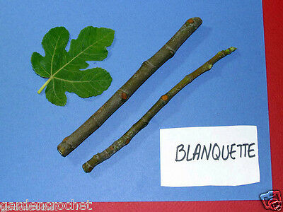TWO ( 2 ) BLANQUETTE  FIG TREE CUTTINGS 6 TO 8 INCHES LONG