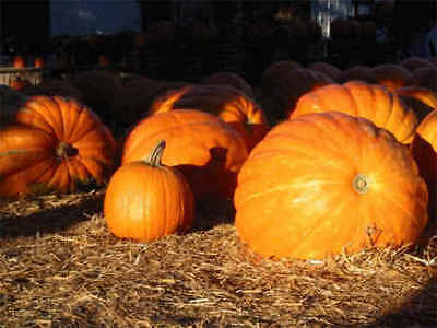 Pumpkin Dills Atlantic Giant - 20 seeds - Vegetables