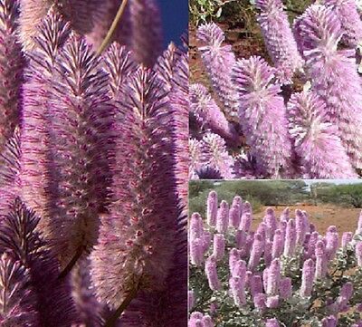 F0403 Ptilotus Rotundifolius Royal Mulla Mulla x15 seeds