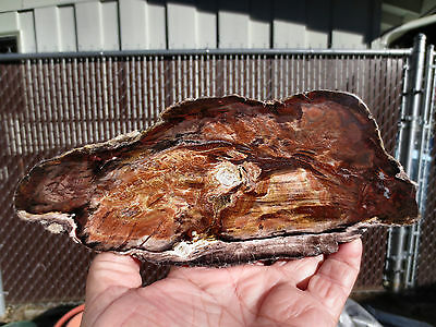 RARE CHERRY CREEK Nevada PETRIFIED WOOD FOSSIL Polished Display Specimen End Cut