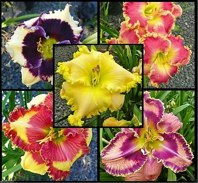 Daylily Seeds- Mix - Re-blooming throughout the season - Ready to Grow !