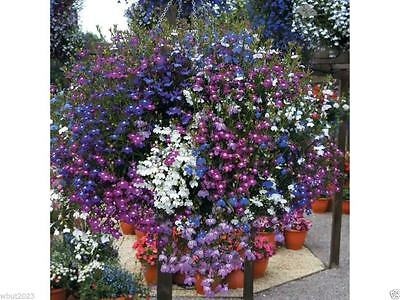 Lobelia Seeds,Trailing Mixed,Use in hanging baskets or trailing over window box!