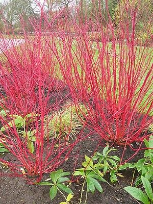 FR042 Red Barked Dogwood x10 seeds, Fire Red Ornamental Bush