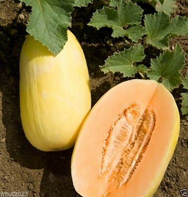 Organic Melon Seeds, Crenshaw,HEIRLOOM Cucumis melo, Utreated non gmo