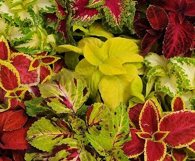 Coleus Wizard Mix - 60 Standard seeds - Annuals