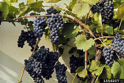 Riverbank Grape Seeds (Vitis riparia) Perennial Vine - Extremely Cold Hardy