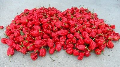 NAGA VIPER Pepper / 1 of Top 10 Hottest Measuring 1,382,118 Scoville Units
