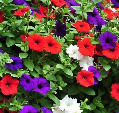 Petunia Express Red, White and Blue mix - 50 Pelleted seeds - Annual