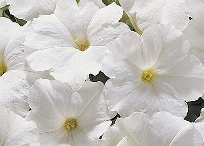 Petunia Express White - 50 Pelleted seeds - Annual