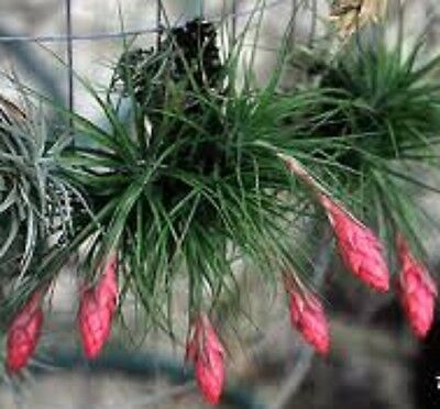 Tillandsia STRICTA Living Air Plant airplant
