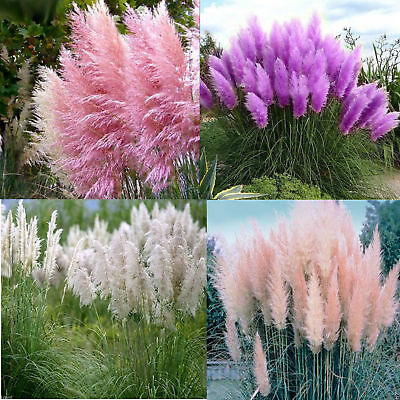 500 x PAMPAS GRASS Cortaderia Selloana Seeds flower hedge pink white red purple