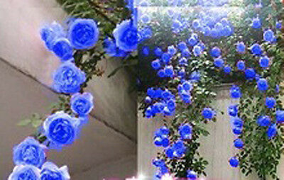 300 Climbing Rose Seeds Balcony Hedge Tree Flowers Blue Red Pink Yellow Purple
