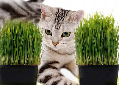 CAT GRASS 1000 SEEDS cats GUINEA PIGS rabbits CHICKENS easy to grow