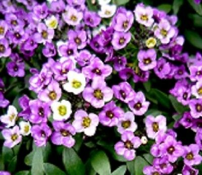 F0030B  Alyssum 'Violet Queen' x300 Bulk seeds *** 5c goes to Cancer Council