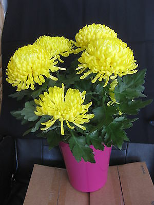 Chrysanthemum - Hardy Yellow Commercial Mum potted plant - in bloom
