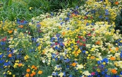 WILD FLOWER SEEDS MEADOW BUMBLE BEE BUTTERFLY 50/50 Floral display 10g to 20kg