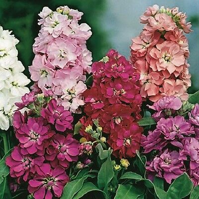 Stock Brompton Crown blended mix - Appx 200 seeds - Annuals & Biennials
