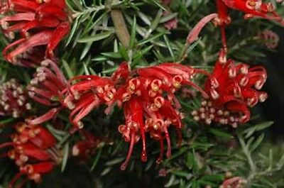 ALLYN RADIANCE GREVILLEA hardy native red flowers groundcover plant in 140mm pot