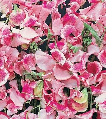 F0488 Sweet Pea Ripple Pink & White x10 seeds Scented Winter Cut Flower