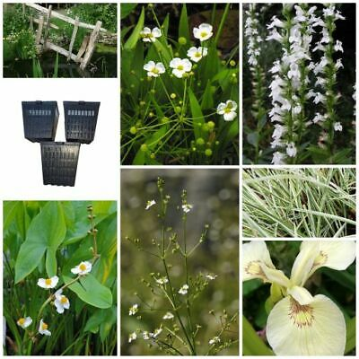 The  White Collection - Marginal Pond Water Plants - Wildlife and Bee Friendly!