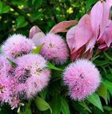 CASCADE LILLY PILLY Syzygium pink flowers native hedging plant in 140mm pot