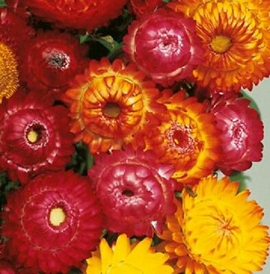 Helichrysum Monstrosum Double Mix- Straw Flower - Appx 700 seeds - Annual